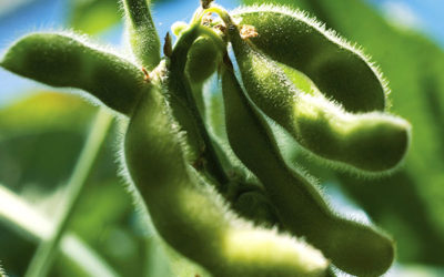 Soybeans Growth Habit