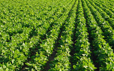 Introduction to Soybeans